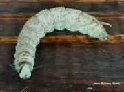 Walnut Sphinx caterpillar Amorpha jugandis Texas US photo Brittany Aikens (4)