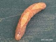 White-blotched Heterocampa caterpillar (Heterocampa umbrata) Missouri US photo Cindy Miller