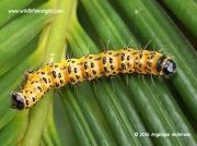 Zerenopsis lepida, Leopard Magpie moth caterpillar Pretoria South Africa © 2015 Angelique Anderson