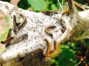 Eastern Tent caterpillars in Idaho State, on silk web photo © Amanda Fingerson