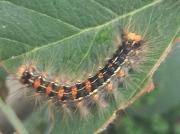 Gypsy moth (Lymantria dispar) caterpillar © 2015 J.McIntyre