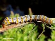 Pearly-Wood-nymph- caterpillar (Eudryas grata)