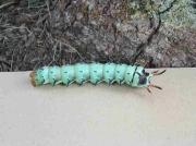 Pre pupating Regal Moth caterpillar (Citheronia regalis) © J.Pace