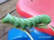 Tobacco Hornworm (Manduca sexta) North Carolina garden US photo © Holly Langford