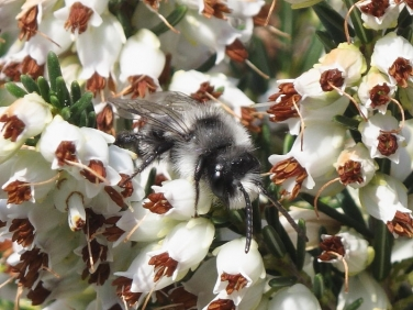 Ashy Mining-bee (Andrena cineraria) - male