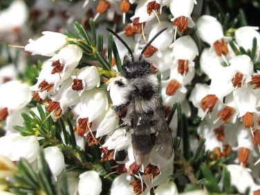 Ashy Mining-bee (Andrena cineraria)