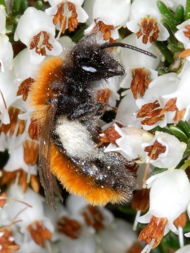 Tawny Mining-bee (Andrena fulva) - female