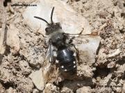 Melecta-albifrons-5488