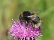Buff-tailed Bumblebee (Bombus terrestris)
