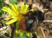 Red-tailed Bumblebee (Bombus lapidarius)