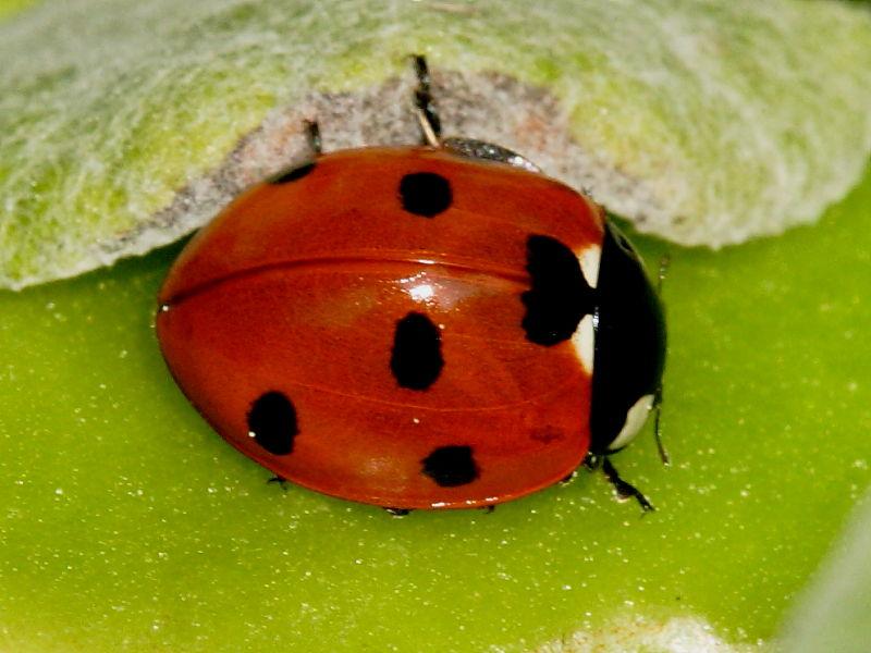ladybirds - photo #19