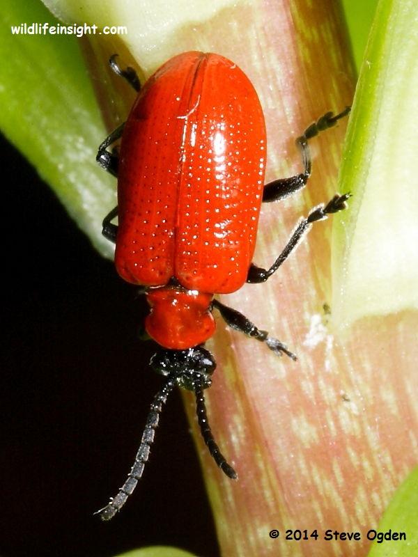 Lily Beetle, Scarlet lily Beetle or Red lily beetle (liloceris lilii) on lily stem © 2014 Steve Ogden