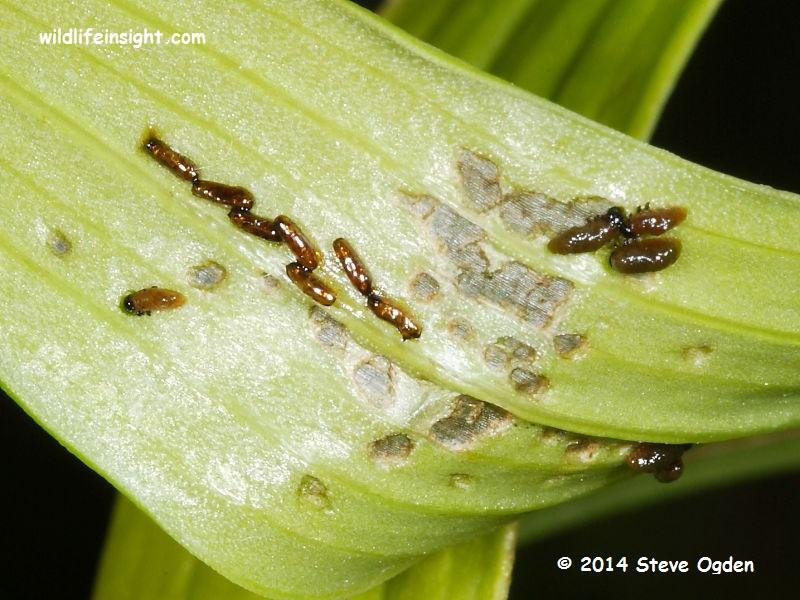 Lily Beetle recently hatched larvae feeding signs (liloceris lilii) on lily leaf © 2014 Steve Ogden