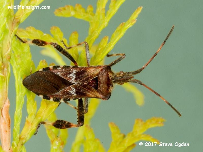 Western Conifer Seed Bug (Leptoglossus occidentalis) Cornwall UK  © 2017 Steve Ogden
