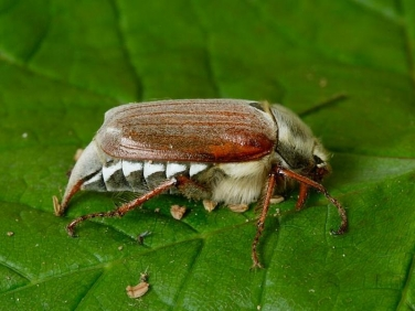 Cockchafer or May Bug (Melolontha melolontha)