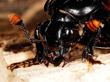 Nicrophorous humator - antennae