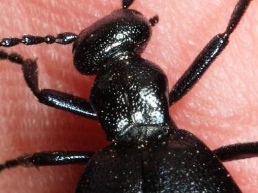 Violet Oil Beetle (Meloe violaceus) - detail