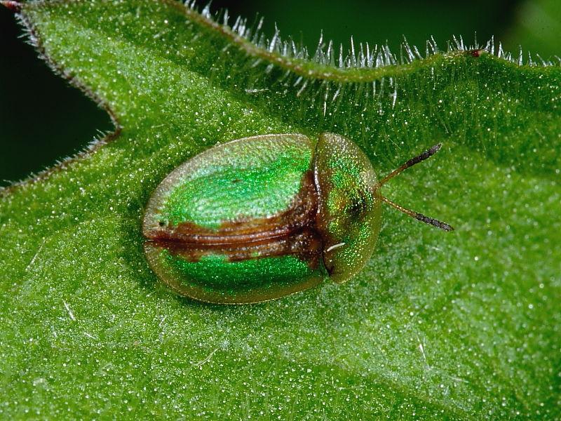 Thistle Tortoise Beetle (Cassida rubiginosa)