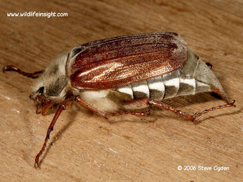Cockchafer or May Bug (Melolontha melolontha) © 2006 Steve Ogden