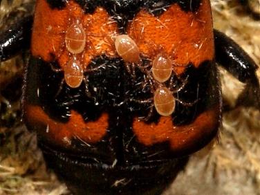 Nicrophorus investigator - mites