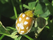 Orange Ladybird (Halyzia sedecimguttata)