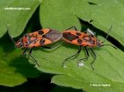 Corizus-hyoscyami-bugs-also-known-as Cinnamon Bugs-and-Red Squash Bugs-2805