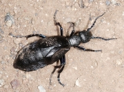 Black Oil Beetle (Meloe proscarabaeus)