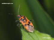 Cinnamon Bug-or-Red-Squash-Bug-corizus-hyoscyami