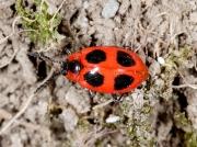 False Ladybird (Endomychus coccineus)