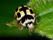 14-spot Ladybird (Propylea quattuordecimpunctata)