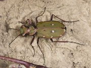 Green Tiger Beetle (Cicindela campestris)
