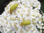 Sulphur Beetle (Cteniopus sulphureus)