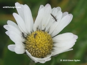 violet oil beetle larvae 3748