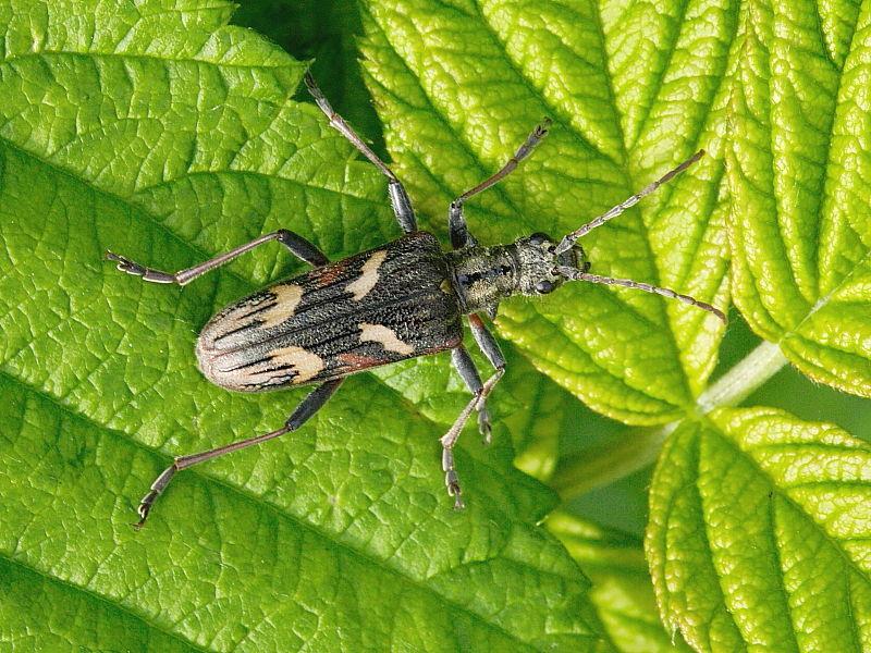 Two-banded Longhorn Beetle (Rhagium bifasciatum)
