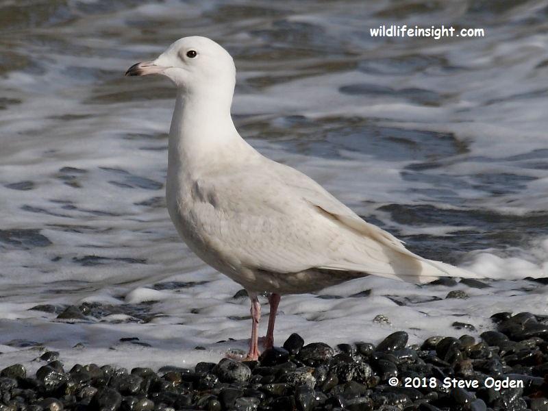 Iceland Gull (Larus glaucoides) Porthoustock Cornwall © 2018 Steve Ogden