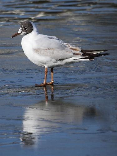 Black-headed Gull (Larus ridibundus) - summer