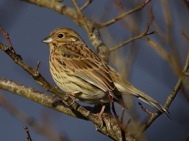 Cirl Bunting (Emberiza cirlus) - female in winter
