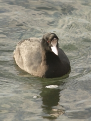 Coot (Fulica atra) with abnormal head