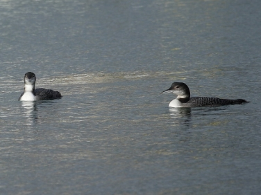 Great Northern Divers (Gavia immer)