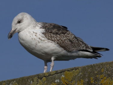 Great Black-backed Gull (Larus marinus) - 2nd winter