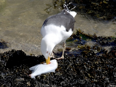 Great Black-backed Gull (Larus marinus) with Flounder