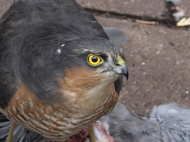 Head of male Sparrowhawk (Accipiter nicus)  © Steve Ogden