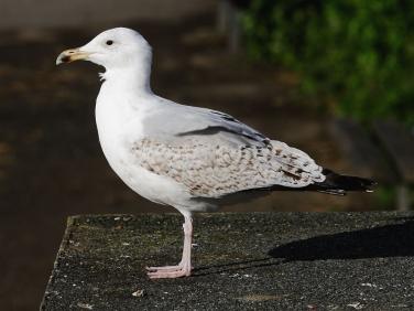 Herring Gull (Larus argentatus) - 3rd summer