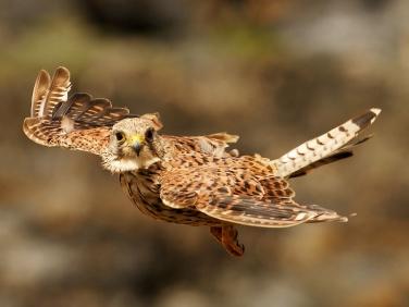 Kestrel (Falco tinnunculus) - in flight