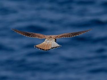 Kestrel (Falco tinnunculus) hovering