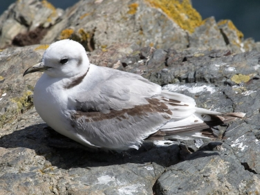 Kittiwake (Rissa tridactyla) - first winter spring