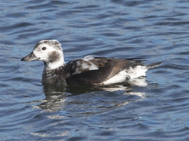 Long-tailed Duck (Clangula hyemalis) - first winter male at Gwithian LNR