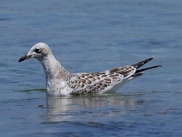 Mediterranean Gull (Larus melanocephalus) - juvenile