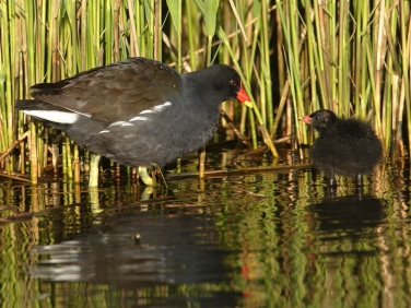 Moorhen (Gallinula chloropus) - adult and chick