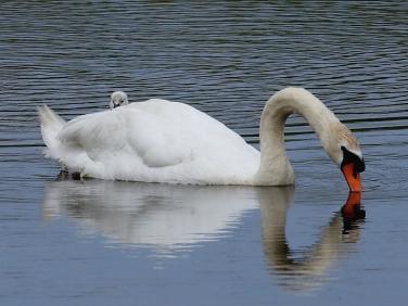 Mute Swan (Cygnus olor) with cygnet